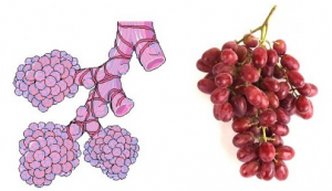 Anggur dan Alveoli